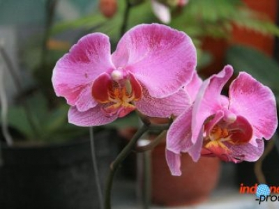 The Enchantment of the Moon Orchid in Indonesia